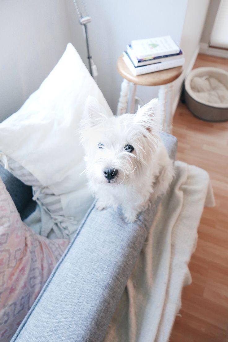 Westies on the balancing beam  | Follow The Westie Besties on Instagram: http://www.instagram.com/thewestiebesties | Photo by Katherine Penfold | #WestHighlandTerrier #Westies #WestHighlandWhiteTerrier #Dogs #Pets #WestieBesties #Cute #Puppy