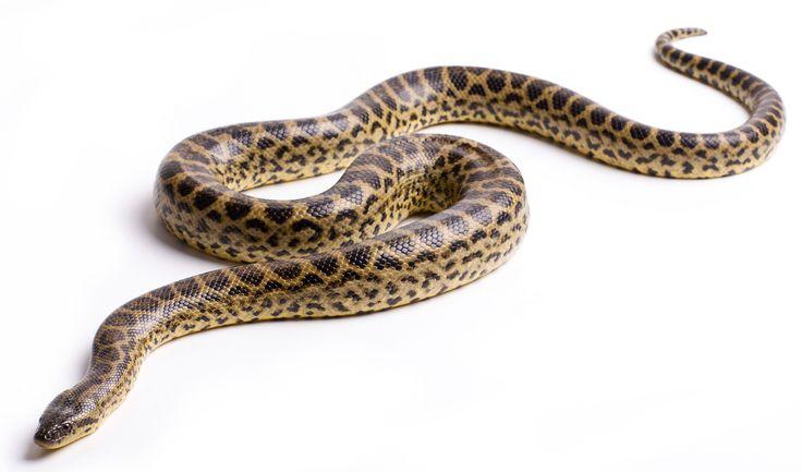 La Anaconda Verde. La más grande serpiente deslizándose en la tierra hoy. Usted no quiere ser aplastado por sus bobinas. Su apetito voraz es la materia de leyendas ...