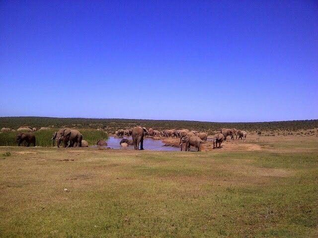 Huge elephant nursery - Addo Elephant Park