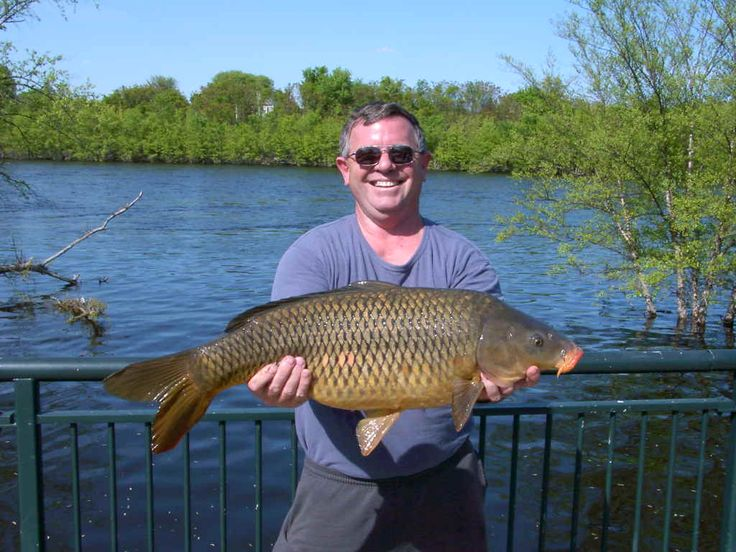 21 Pound Carp caught and released at the Merrimac River. The Merrimac is one of the most productive  carp fisheries in Massachusetts, The Merrimac River turns out consistently good fish. MA. Carp Fishing  Get the best Carp Bait and Carp Fishing Tackle at Ocean State Tackle Providence RI 02904