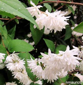 Deutzia 'Pride of Rochester' ALT=