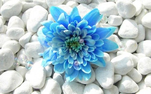 Gorgeous File Attachment of Cool Desktop Wallpapers with blue lotus flower