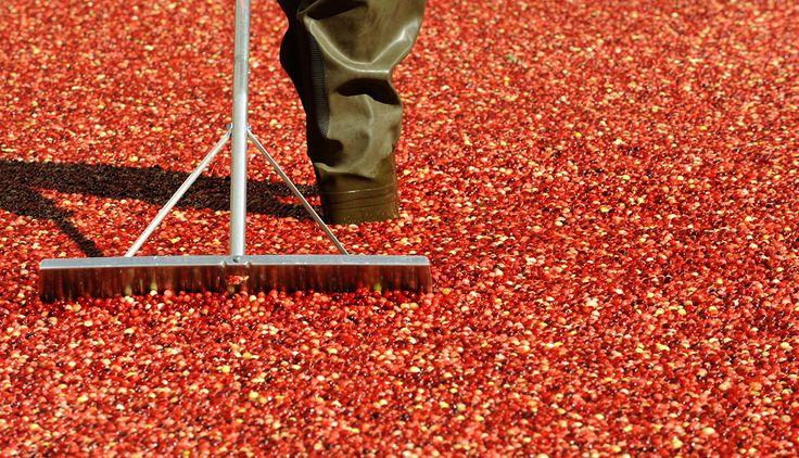Un trabajador remueve más de 2.000 libras de arándanos Ocean Spray en un 1,500 pies cuadrados pantano de pie en frente del Centro Rockefeller 7 de octubre de 2008. Ocean Spray está teniendo una gira por Estados Unidos para mostrar la belleza de la cosecha de arándanos.
