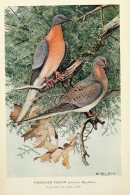 Extinct bird species: Passenger Pigeon. The Passenger Pigeon was a very social bird that lived in large flocks. By the early 20th century, the passenger pigeon died out completely due to hunting and destruction of natural forest habitat