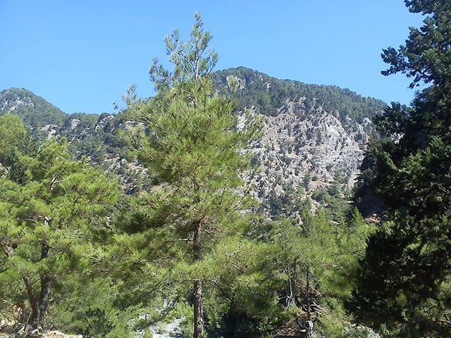 Calabrian pines and Samaria cypresses are common in Samaria Gorge and are quite different from the rest of Greece. Photo 5.  #travel #travelphotographer #travelphoto #travelphotography #travelblog #travelblogger #travelblogging #lifeisadventure #travelislife #valdastravel #trees #pines #cypresses #flora #greece #crete #samariagorge #samaria #hike  #hiking #instatravel
