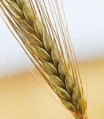 Wat is gezonder: volkoren brood of tarwebrood?