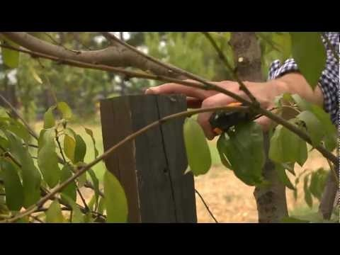 Maintaining Fruit Trees | At Home With P. Allen Smith