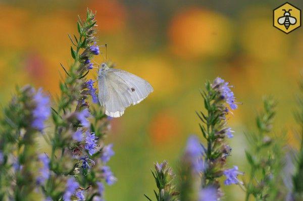 Wiele roślin pożytkowych to również zioła lecznicze i przyprawowe. Hyzop lekarski (Hyssopus officinalis)