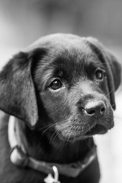 """Black Lab Puppy made me go """"oooo"""" .. :O so adorable, so cute, reminds me of my old doggy (RIP) Bear when she was a puppy!! <3<3<3"""