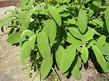 As a kitchen herb, sage has a slight peppery flavor. In British cooking, it is used for flavoring fatty meats, Sage Derby cheese, poultry or pork stuffing, Lincolnshire sausage, and in sauces. Sage is also used in Italian cooking, in the Balkans, and the Middle East. It is one of the major herbs used in the traditional turkey stuffing for the Thanksgiving Day dinner in the United States. Despite the common use of traditional and available herbs in French cuisine, sage never found favour…