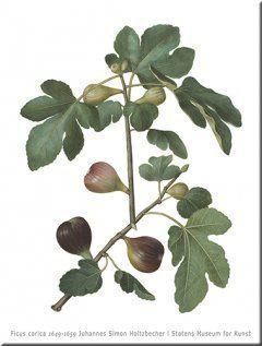 Ficus carica Wall art, print size 84 cm x 120 cm 1649-1659 Johannes Simon Holtzbecher SMK.dk