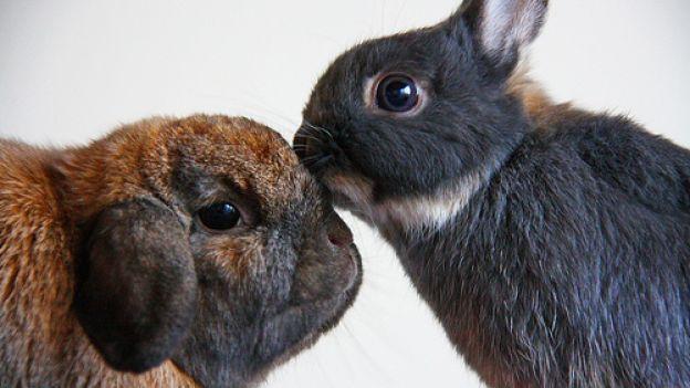 Come inserire un nuovo coniglio in famiglia