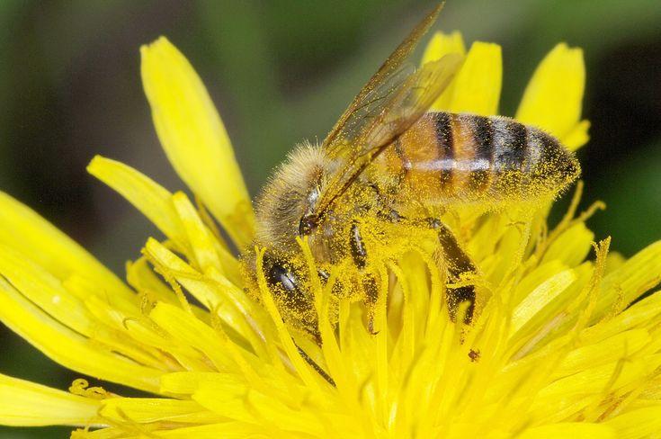 Piqûre de guêpes, abeilles, frelons, bourdons: que faire?