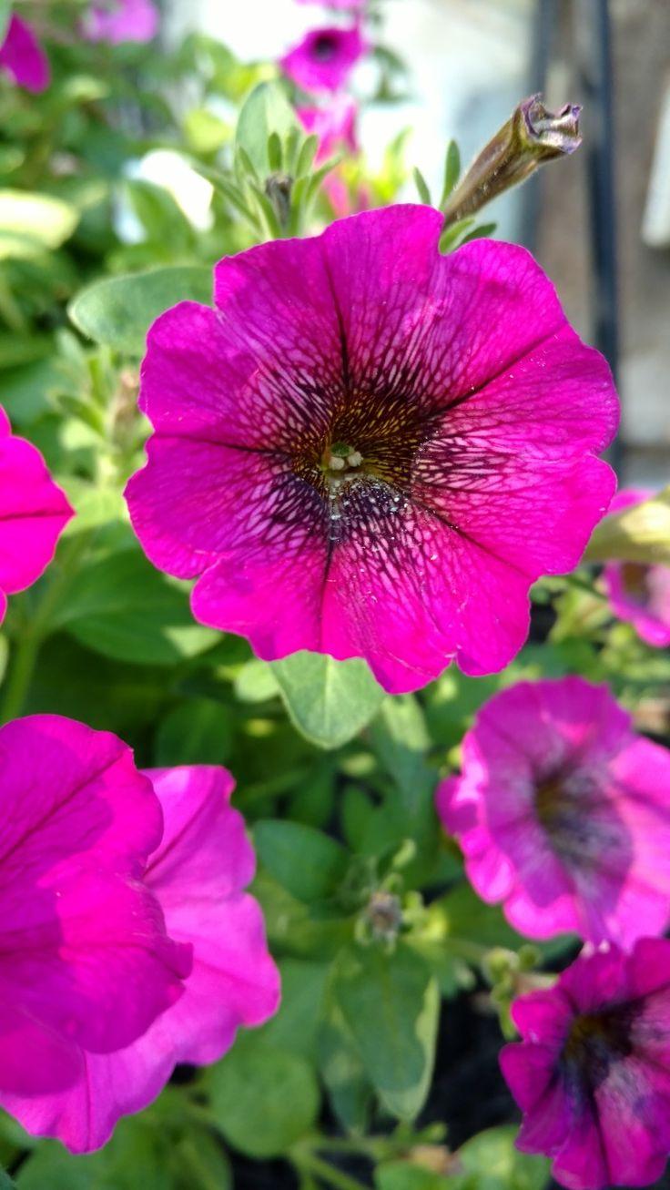 Hybrid Petunias...thanks to bees!!