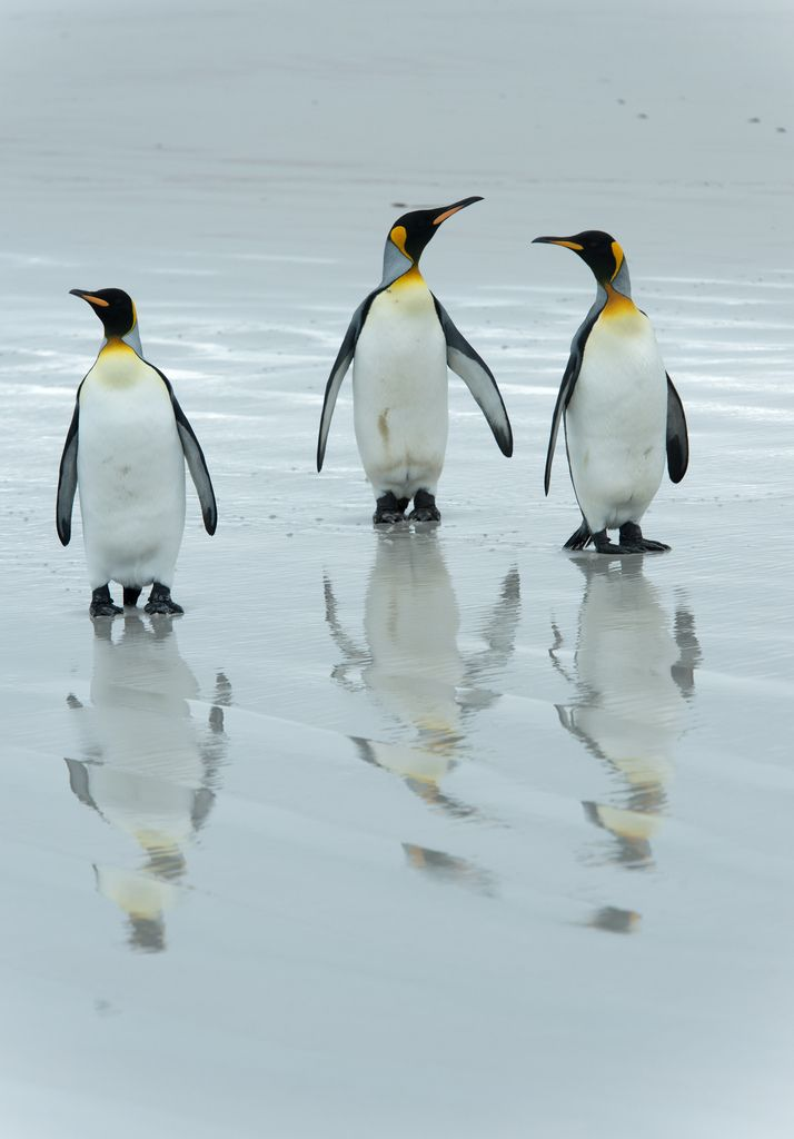 King penguin reflections.