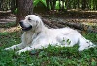 Symptoms, treatment and prevention of canine cognitive dysfunction (doggie Alzheimer's).