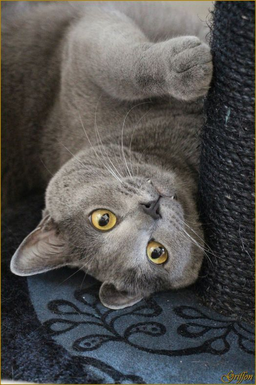 This looks like my Smokey-baby!   Cat - Carthusian - Griffon on www.yummypets.com