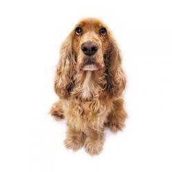Le chien ne doit pas s'angoisser en votre absence