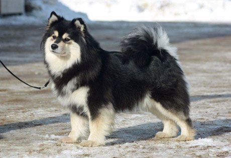 Finnish Lapphund Information   American Kennel Club