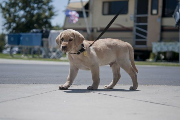 How to Teach a Puppy to Walk on a Leash - American Kennel Club