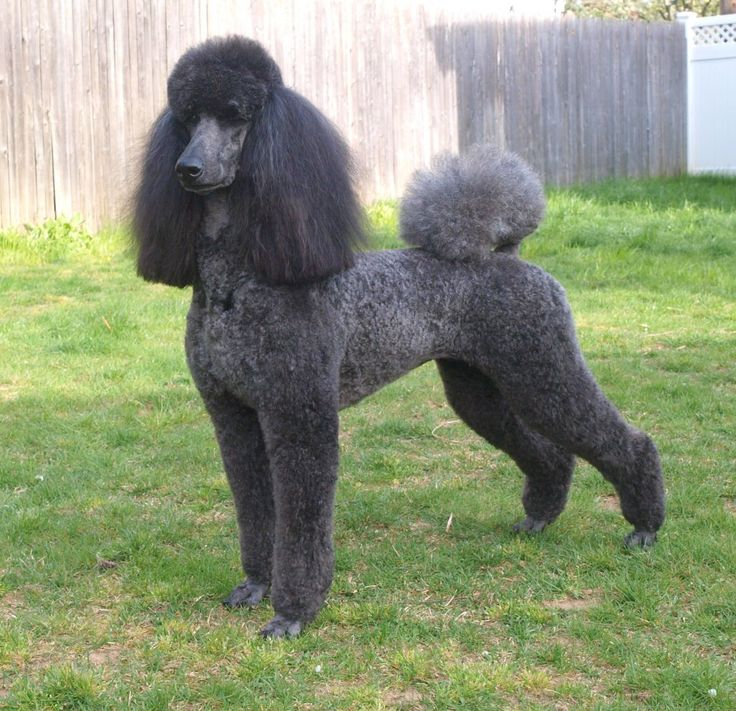Blue Dyed Standard Poodle 64 best images about P...