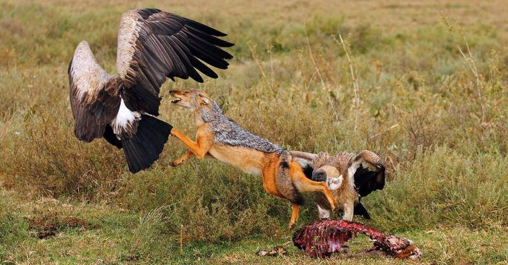 Chacal ataca abutres na Tanzânia, no Leste da África, para defender sua comida