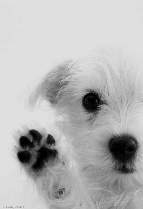 Westie... Hi!