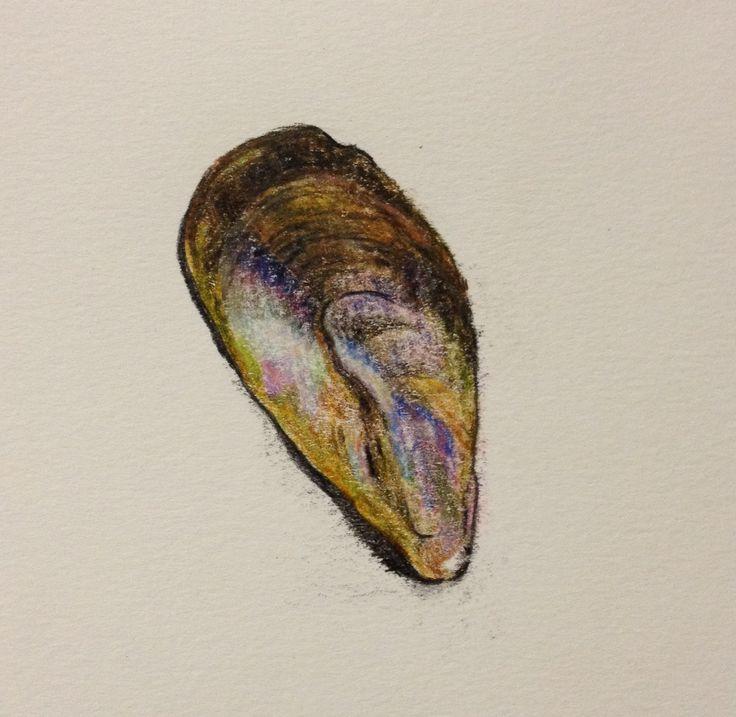 Perna perna - Brown Mussel shell, drawn using Faber Castell Polychromos and Lyra Aquarelle coloured pencils. Lisa McGregor