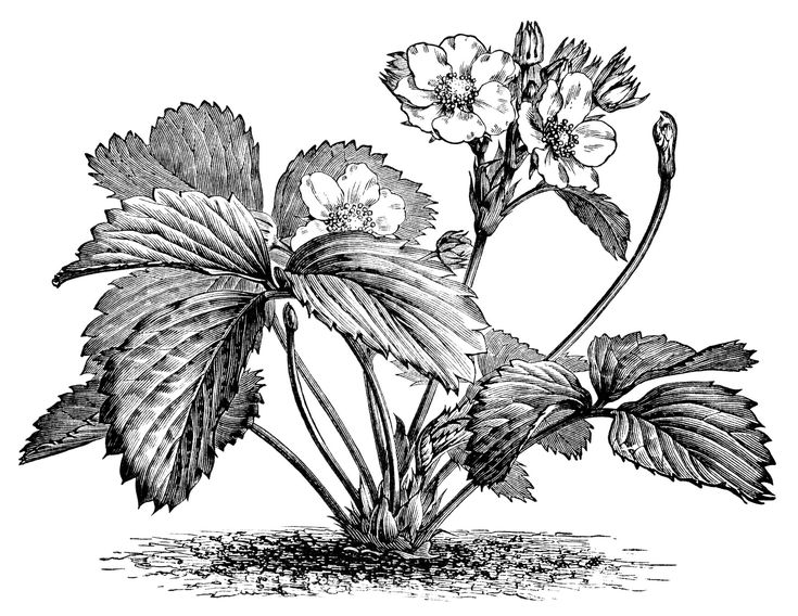 Strawberry Plant Illustration, Botanical Clip Art, Vintage Berry Garden  Graphics, Black And White