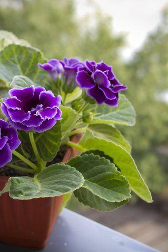 Gloxinia: planter et cultiver – ComprendreChoisir