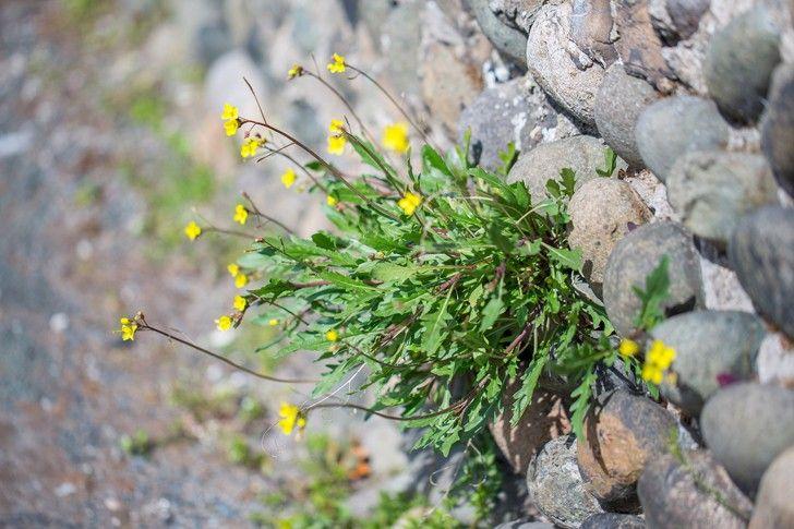 Erbe spontanee: la rucola selvatica e i suoi caratteristici fiori gialli…