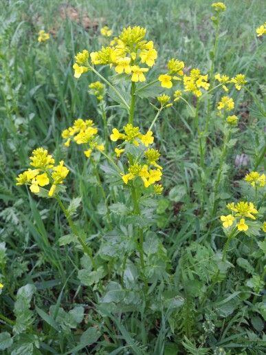 #peltokäenkaali #hortoilu #villivihannes Koko kasvi kelpaa syötäväksi, myös siemenet. Lehdet parhaimmillaan ennen kukkimista