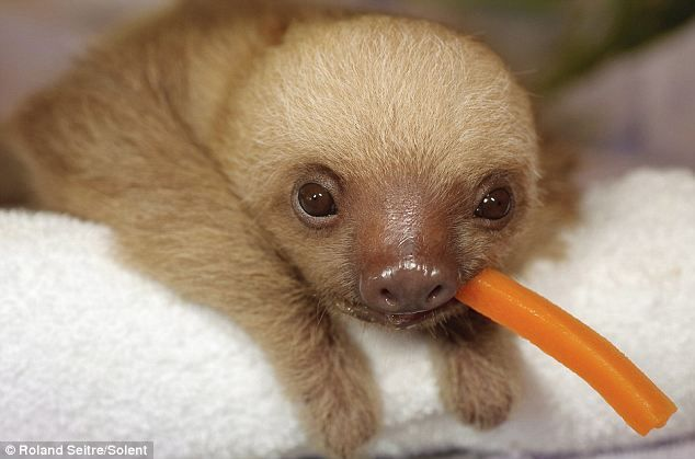 Visit this site to see even more cute sloth pics!