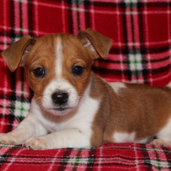Watson Jack Russell Terrier Puppy For Sale in
