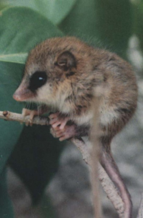The monito del monte, a small South American marsupial