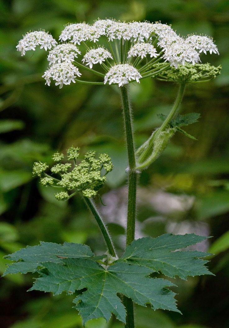 Cow-parsnip (Heracleum lanatum)