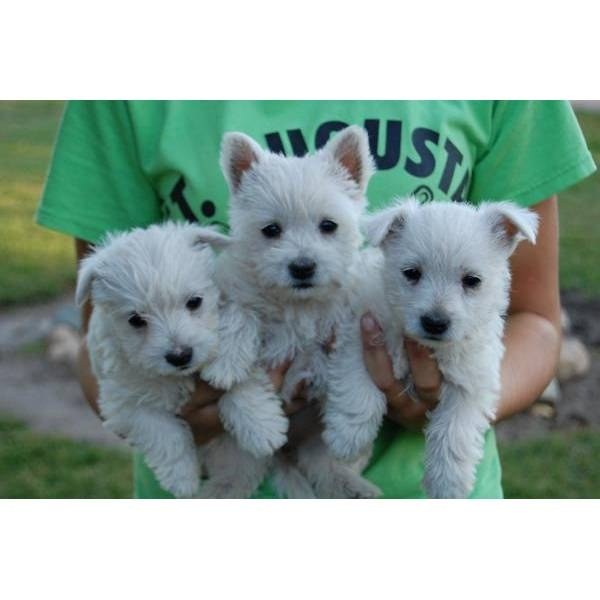 """AKC Westie Male """"Rex"""" Minnesota. A cute male West Highland White Terrier - Westie puppy for sale in Kimball, MN 55353."""