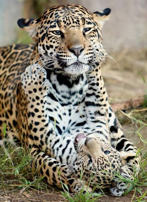 BASIC FACTS ABOUT JAGUARS | All Things Cats | Pinterest | Cat, Dog Stories  And Animal