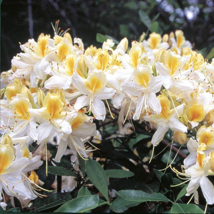 Northern Hi-Lights Azalea (Rhododendron Northern Hi-Lights) at Wayside Gardens