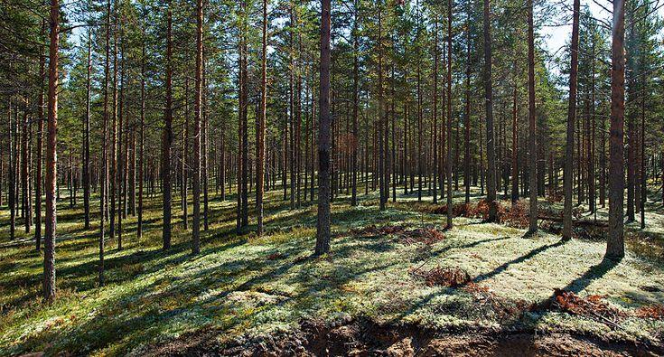 TähtiSavu-savusauna. Sauna sijaitsee noin 300 metrin päässä kylpylähotellistamme, aivan Rokua Geoparkin ytimessä. Upean ulkonäkönsä ja erinomaisten löylyjensä lisäksi savusaunamme on ekologinen. Käyttövesi lämmitetään maalämmöllä ja saunan lämmittämiseen tarvittavat polttopuut hankitaan lähialueen maatiloilta. Käyttövesi tulee omasta kaivosta. Rokua Health & Spa Hotel, Suomi. Smokesauna, Finland.