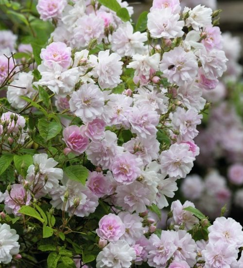 144 best rosa images on pinterest garden roses backyard ideas and roses. Black Bedroom Furniture Sets. Home Design Ideas