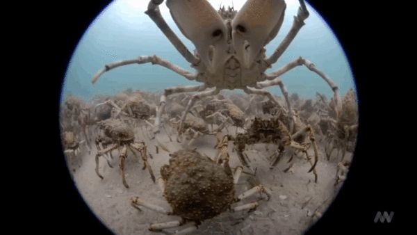 An Underwater Peek At The Migration Of Thousands And Thousands Of Spider Crabs - Un vistazo submarino a la migración de miles y miles de cangrejos araña