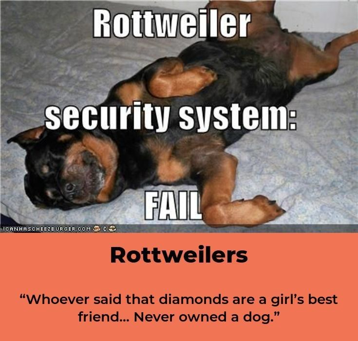 Rottweiler Loving Confident And Loyal Rottweiler Puppies German Dog Breeds