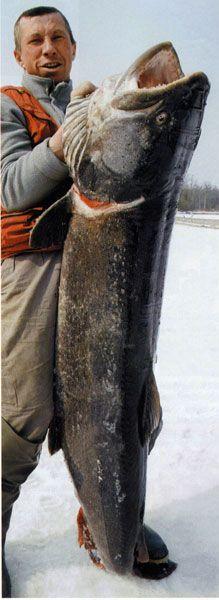 taimen_record_50kg russia siberia  big fishes huge world record  massive caught records largest I
