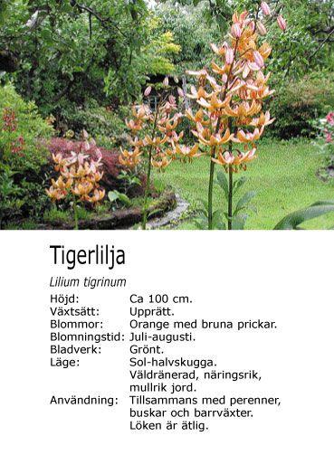 #sommar Lilium tigrinum - Tigerlilja