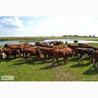 Крупный рогатый скот и молодняк