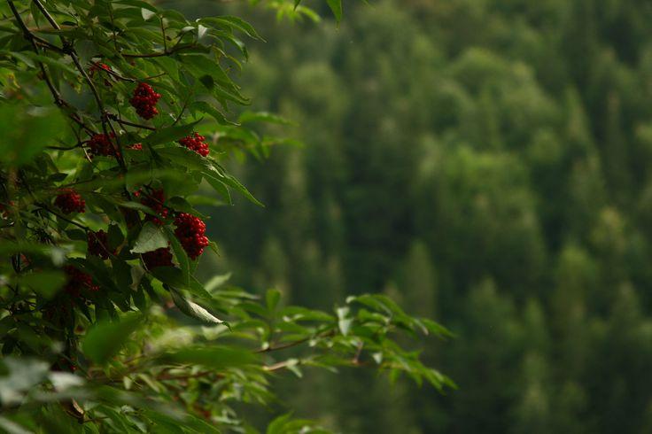 Sambucus racemosa  (Red Elderberry)