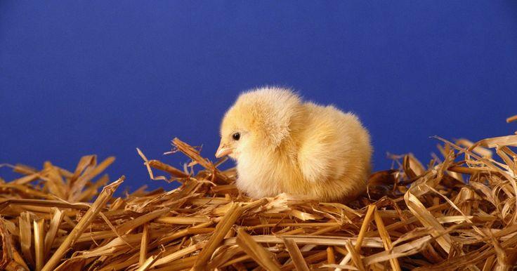 Cómo ayudar a incubar un huevo de pollo. Los huevos de pollo necesitan 21 días de incubación para que rompan el cascarón. Los huevos se incuban debajo de una gallina clueca o en una incubadora. El desarrollo del embrión joven se observa por el proceso de mirar al trasluz, sujetando el huevo frente a una luz brillante. Existen numerosas formas de ayudar a incubar un huevo de pollo.