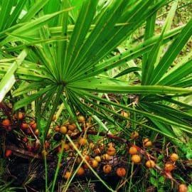 Powerful Libido Supplements - Saw Palmetto
