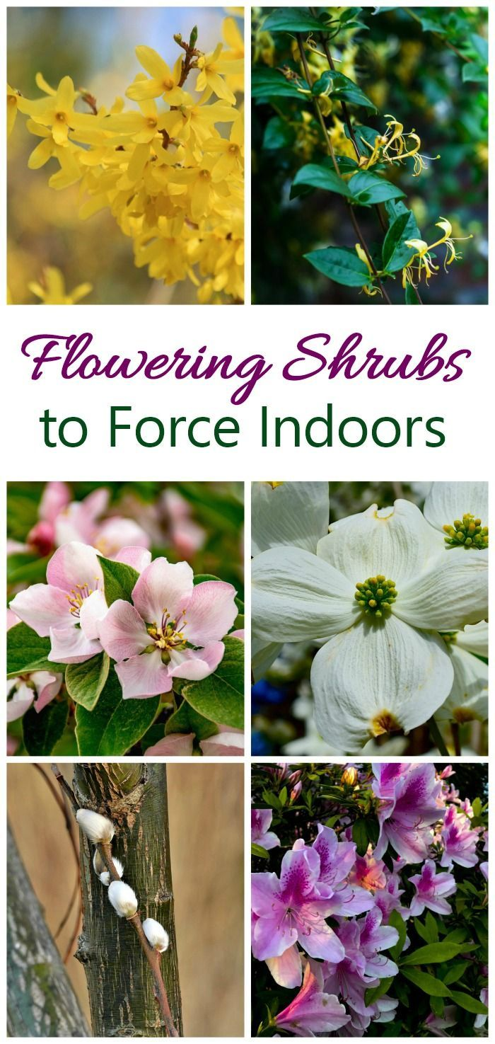 Get a jump start on spring by forcing flowering shrubs indoors